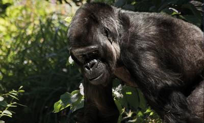 Zoowärter hilft Gorilla bei Trauerbewältigung