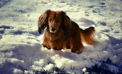 dachshund-583889_1920
