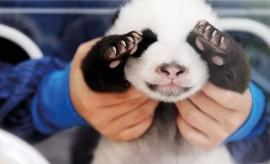Traumjob Panda-Nanny!